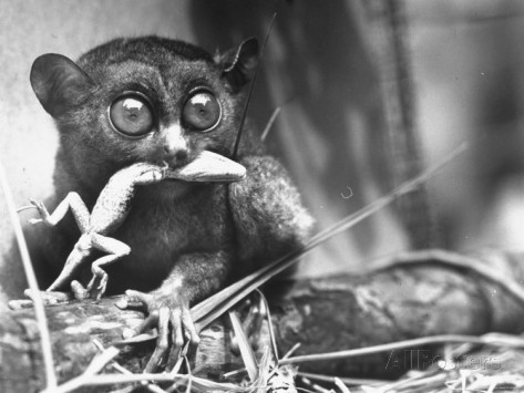sam-shere-tarsiers-an-animal-native-to-indonesia-and-philippines-eating-a-lizard-alive